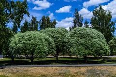 Nicely round trees, Sysmä (nousku) Tags: sysmä suomi finland tamron flowerstrees urban