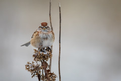 Tree Sparrow Acusing Me of Something (jeff_a_goldberg) Tags: americantreesparrow montrosebeach wildlife winter nature bird spizellaarborea sparrow chicago jeffgoldbergphotography montrosepointbirdsanctuary illinois unitedstates us