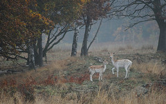 Doe & Fawn (andy_AHG) Tags: wildlife autumn stag fallowdeerbuck antlers ruttingseason animals nikond300s yorkshire