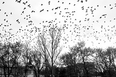 crows in the winter morning (uiriidolgalev) Tags: crows winter morning