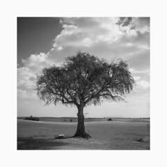 desert tree (young00) Tags: hasselblad 500cm kodak tx 400 80mm medium bw film tree desert