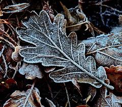 Crispy Crystals (louise peters) Tags: leaf blad frost rijp wood bos oak eik eikenblad crispy crystals kristallen ijskristallen macro happymacromonday hmm