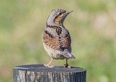 Wryneck.. (Jeff Lack Wildlife&Nature) Tags: wryneck birds avian animal animals wildlife wildbirds wetlands woodlands wildlifephotography jefflackphotography farmland forest woodpecker woodpeckers passagevagrant wintermigrant countryside hedgerows norfolk nature