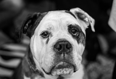 George (daveseargeant) Tags: dog victorian bulldog monochrome portrait white black medway rochester kent nikon df 50mm 18g