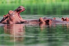 SBADIGLIO    ----    YAWN (Ezio Donati is ) Tags: animali animals acqua water foresta forest fiume river natura nature westafrica costadavorio bandamariver taiboitenarea