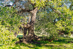 HillCountry_028 (allen ramlow) Tags: large giant old oak tree landscape sony alpha texas hill country