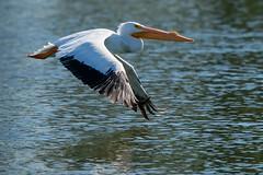 American White Pelican 6578 (maguire33@verizon.net) Tags: americanwhitepelican bif pelecanuserythrorhynchos pradoregionalpark whitepelican bird breedingadult pelican wetlands wildlife chino california unitedstatesofamerica us