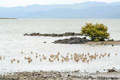 godwits-on-shore (Alex Ignatov) Tags: auckland newzealand bird birdwatching godwit nature wildlife aucklandregion nz