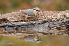 Nuthatch 501_6815.jpg (Mobile Lynn) Tags: nature nuthatchestreecreepers birds nuthatch bird eurasiannuthatch fauna passerine sittaeuropaea sittidae wildlife