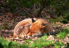 Mr.Tod (Durley Beachbum) Tags: 119picturesin20197 fox animal sleeping bournemouth february