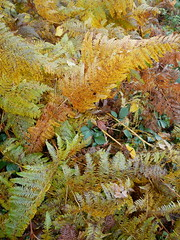 Ashdown House - in the woodland (Dubris) Tags: england oxfordshire oldberkshire ashdownhouse nationaltrust fern bracken