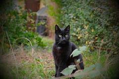 DSCF0055 (Hansjepansjekevertje_) Tags: katten kat cats cat siep