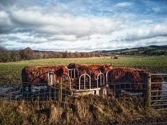 Photo of Scottish beef