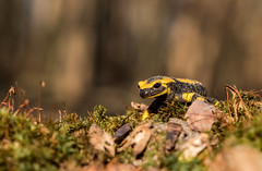 Notre dragon (Eric Penet) Tags: salamandre salamander firesalamander tachetée animal sauvage hiver france faune wildlife wild amphibien batracien halatte forêt oise picardie macro macrophotographie