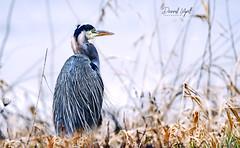 Contemplating Heron (Darrell Wyatt) Tags: bird heron blue feather bokeh life wildlife ridgefield washington