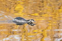 Great Crested Grebe (AndyNeal) Tags: animal wildlife nature essex essexwildlifetrust ewt abbertonreservoir bird goldenhour greatcrestedgrebe grebe water reflections