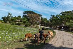 Walking the Herd in Mrauk-U (shapeshift) Tags: asia burma cows davidpham davidphamsf mraukoo mrauku myanmar people road rural shapeshift southeastasia street streetphotography travel village myohaung rakhine myanmarburma mm