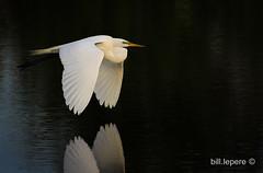 Great Egret at the Venice Rookeryu (bill.lepere) Tags: blepere venice rookery greategret florida birds birdwa birdphotography birdflying wildlife nature