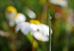 El reflejo de tu alma (jantoniojess) Tags: gotasdeagua gota rocío drop drops naturaleza nature margarita macro macrofotografía flores flor flower reflections reflejos hierba briznadehierba bokeh bokehwithflowers panasoniclumixg80 dew petal pétalos