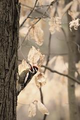 Yellow-bellied Sapsucker (jeanne.marie.) Tags: woodpecker throughmywindow yellowbelliedsapsucker birds spring forest trees beech
