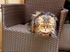 Prague (kirstiecat) Tags: caturday praha prag prague catcafe kitty cat feline chat gato catportrait european