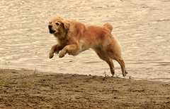 One Leaping Golden (Diane Marshman) Tags: golden retriever goldenretriever large dog breed brown fur leaping jumping action motion movement lake sand water pa pennsylvania goldstock camp event 2018