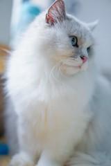 『貓貓喵丫』蘑菇寶寶的爸爸雲尼拿 #sel55f18z#sonya7iii#catsofinstagram#cat (Joey0124) Tags: sonya7iii sel55f18z cat catsofinstagram