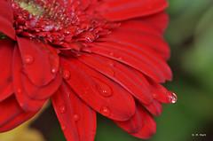 Drops on flower (R. M. Marti) Tags: flor petalos agua gotas naturaleza flower petals water drops nature
