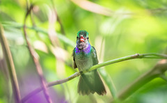 Charming hummingbird (Xuberant Noodle) Tags: amazilia america animal beak beautiful bird branch central charm charming chirp chirping color colorful colour colourful costa decora environment forest green humming hummingbird jungle latin life nature open osa outdoor outdoors outside peninsula perch perched perching pretty rain rainforest rica stem tree tropical tropics twig vegetation vibrant wild wildlife