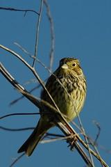 DSC01983 - Corn Bunting (steve R J) Tags: corn bunting wallasea island rspb reserve essex birds british