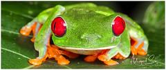 Red-eyed Tree Frog / Rana de Ojos Rojos (Panama Birds & Wildlife Photos) Tags: treefrog frog frogs rana ranas ranaarborícola anfibio anfibios amphibian amphibians wildlife wildlifephotography wild wildanimal animal macrowildlife macro macrophotography