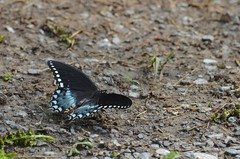 2018 05 20 125 Back country, WV (Mark Baker.) Tags: 2018 america baker braxton county mark may north us usa virginia wv west butterfly day outdoor photo photograph picsmark pipevine rural spring states swallowtail united wildlife