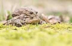 Amplexus II (Eric Penet) Tags: amphibien mars animal sauvage batracien mormal forêt printemps locquignol wild wildlife nature france nord faune crapaud commun toad