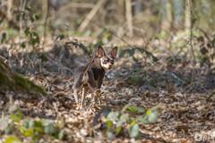 Faune domestique (Philippe Bélaz) Tags: nestor pragois ratierdeprague animal animaux animauxdecompagnie balades brun chiens chocolat domestique faune forêts