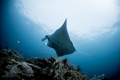 Cleaning please (rhasanen) Tags: sangalaki mantas scubajunkie scuba diving nature coral underwater nikon nikkor manta