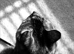 lion dreams... (Stu Bo) Tags: cat animal dreams sbimageworks shadows light blackandwhite love bw