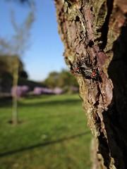 Ops... (Ⱥndreia) Tags: sonydschx200v portugal póvoadevarzim 2019 mosca fly insect insecto natureza nature árvore tree