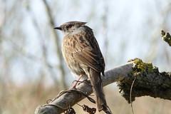 Dunnock (hedgehoggarden1) Tags: dunnock birds wildlife nature creature animal sonycybershot norfolk eastanglia uk titchwell rspb sony
