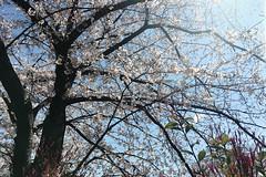 untitled (t-miki) Tags: cherryblossom itabashi tokyo 板橋 東京 桜