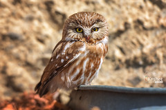 Northern Saw-whet Owl (Keshet Kennels & Rescue) Tags: owl saw whet sawwhet rest blood beak sunshine sunlight sunny bird prey predator perch wildlife nature