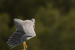 White faced heron (Ran 2018) Tags: animals australia nature birds heron
