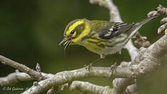 Townsend's Warbler (f) (Bob Gunderson) Tags: birds california fortmason northerncalifornia sanfrancisco setophagatownsendi townsendswarbler warblers woodwarblers birdwatcher