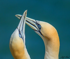 JWL6362  Gannets... (Jeff Lack Wildlife&Nature) Tags: gannet gannets birds avian animal animals wildlife wildbirds waterbirds wildlifephotography jefflackphotography seabirds seashore countryside coastalbirds coastline coast oceans cliffs bempton yorkshire nature