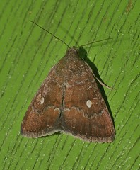 One spot Moth Amyna axis  Acontiinae Erebidae Noctuoidea Airlie Beach rainforest P1460926 (Steve & Alison1) Tags: one spot moth amyna axis acontiinae erebidae noctuoidea airlie beach rainforest