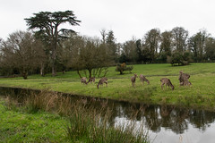DSC_7687.jpg (dan.bailey1000) Tags: cork ireland wildlife donerailepark sika deer