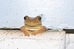 Cuban Refugee (donjuanmon) Tags: donjuanmon nikon nature frog cuban cliches clichesaturday hcs