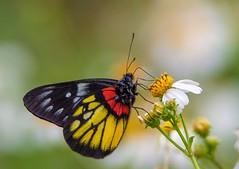 Delias pasithoe curasena (Changer4Ever) Tags: 豔粉蝶 deliaspasithoecurasena nikon d750 butterfly insect animal life nature color colorful wild wildlife wings bokeh dof depthoffield closeup macro season 15006000mmf5063