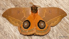 Saturniid moth with fake eyes, Automeris cinctistriga or vergnei? (Ecuador Megadiverso) Tags: andreaskay ecuador fakeeyes falseeyes moth saturniidmoth saturniidae wildsumaco automeriscinctistriga automerisvergnei