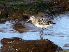 Bar-tailed Godwit 16.1.19 (ericy202) Tags: bartailedgodwit rocks beach sea hunstanton