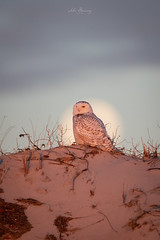 Snowy Owl (johnbacaring) Tags: snowy owl sunrise moonset wildlife raptor birdsofprey canonphotography nature snowyowl bird birding